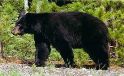 black bear (1).jpg