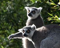 Lemurs_ALMA 6019.jpg