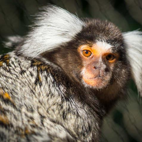 Common marmoset