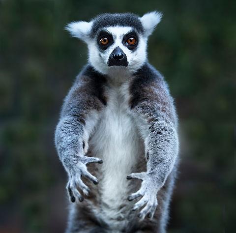 Lemur_ALMA 5706.jpg
