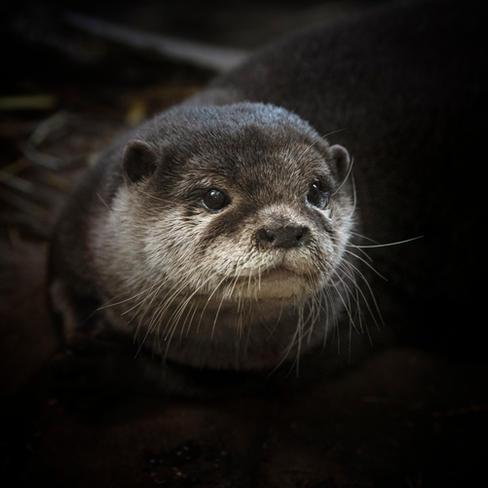 Asian Short-clawed otter