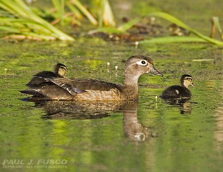 Ducks at Misery Brook