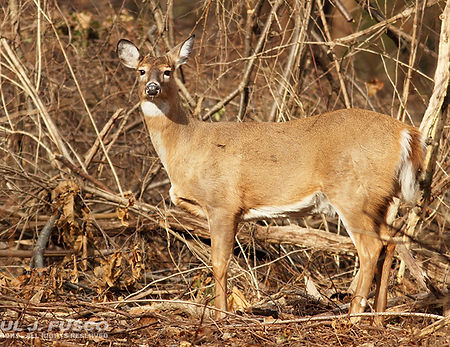 deer - River Channelization