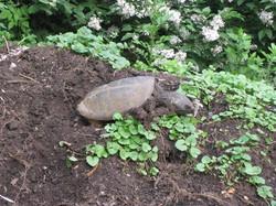 Turtle KS