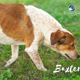 Baxter | Male