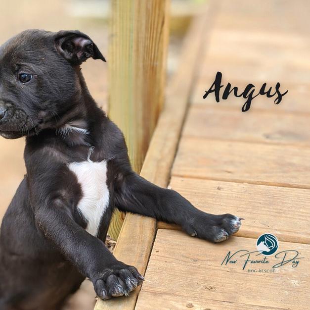 Angus | Male
