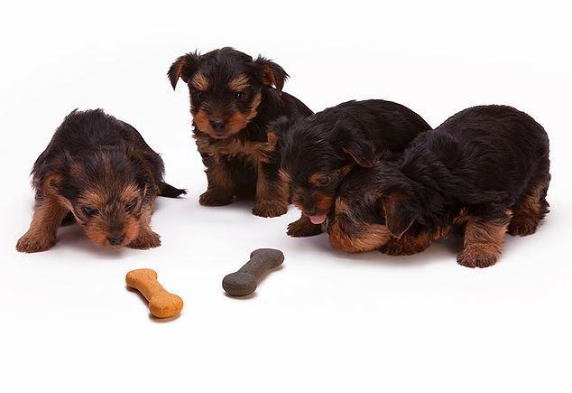 petits chiots, dogma