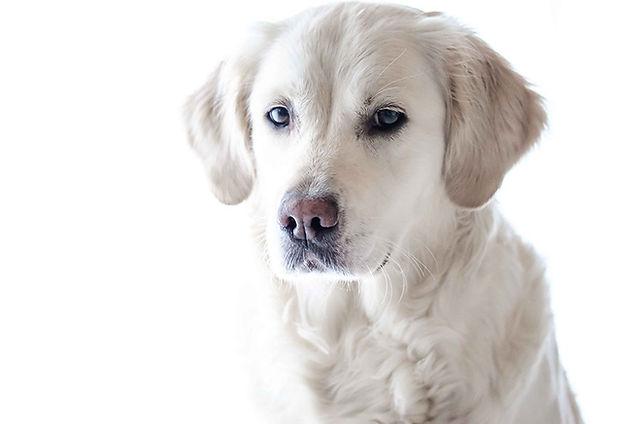 chien blanc, dogma, animal domestique