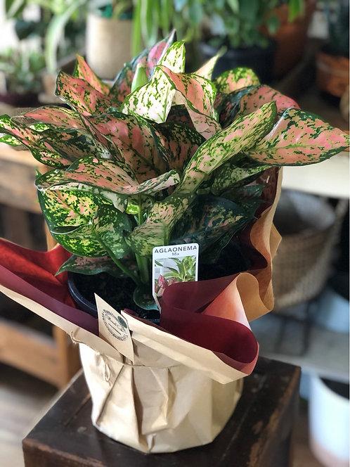 Pot plant - Aglaonema.