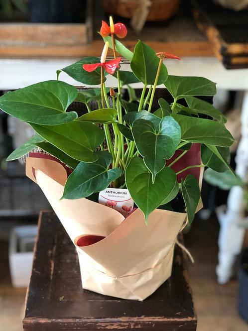 Pot Plant - Anthurium