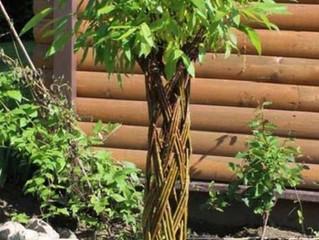Живое дерево из ивы.