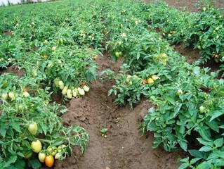 Новая линия семян томатов от фирмы СеДеК.
