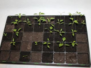 Почему плохая всхожесть семян перцев и баклажан в этом году.