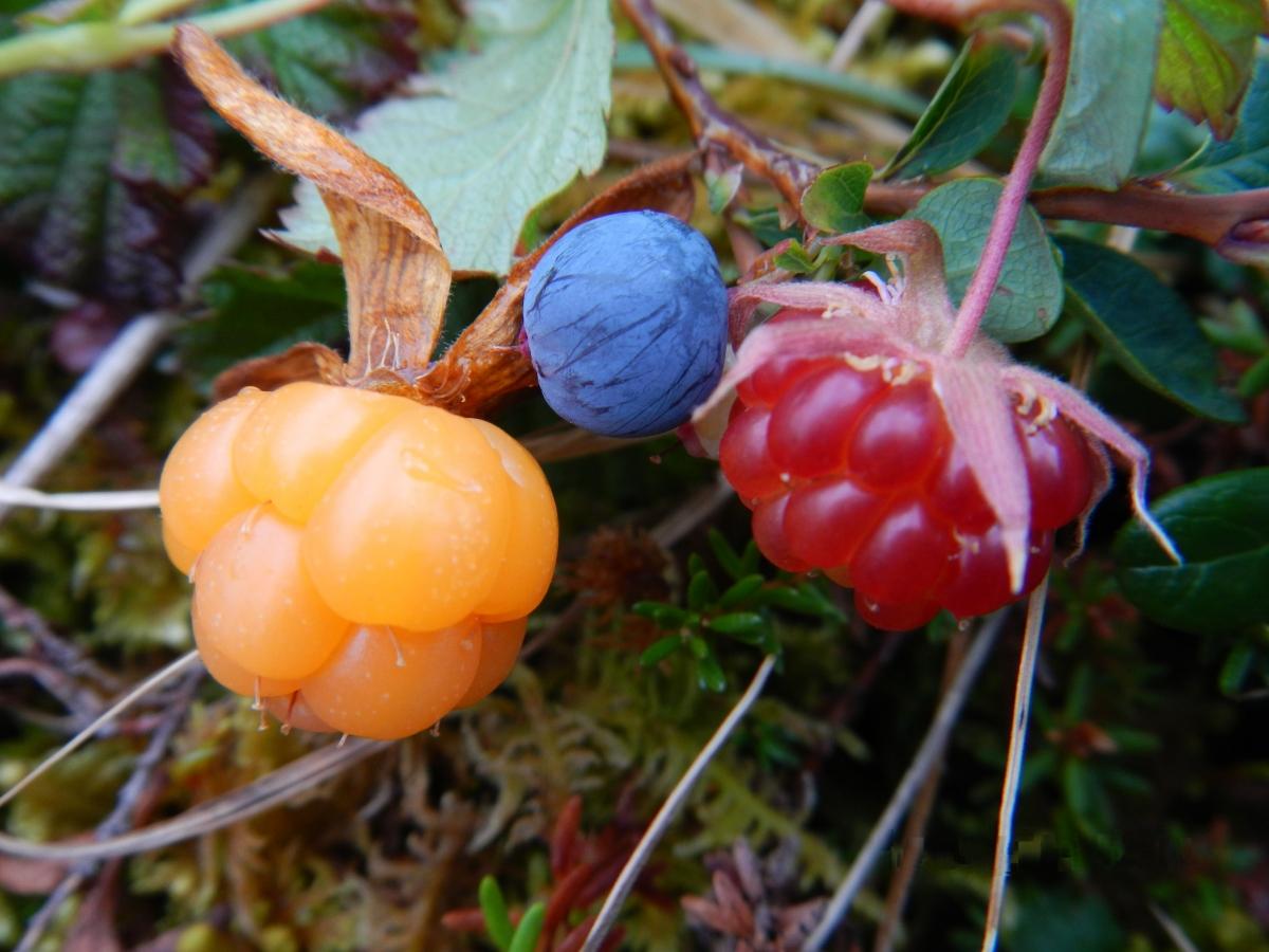 ягоды севера россии с фото и описанием хиджр зовут многие