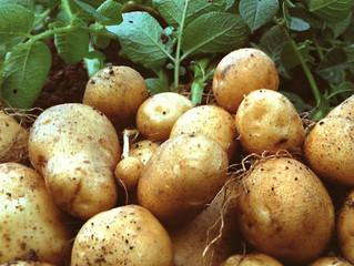 Пасленовые. Картофель
