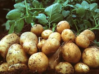 Секреты выращивания картофеля.