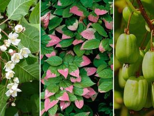Плодово-ягодные лианы. Актинидия.