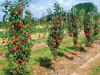 Сад из колоновидных яблонь.
