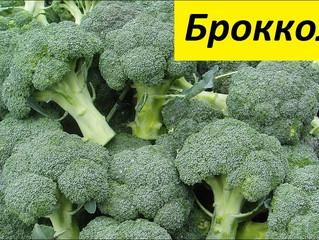 Популярные сорта капусты брокколи.