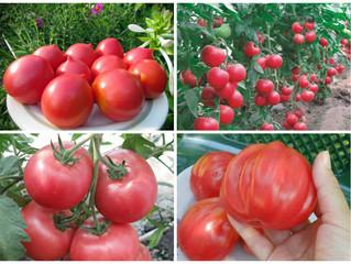 Очень ранние сорта томатов.