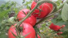 Чтобы в теле был задор, ешь Сызранский помидор!