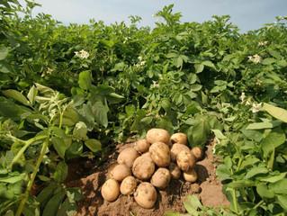 Полюшко - поле, полюшко с картошкой, поле...
