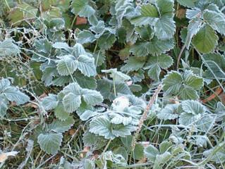 Возвратные заморозки. Реанимация растений.