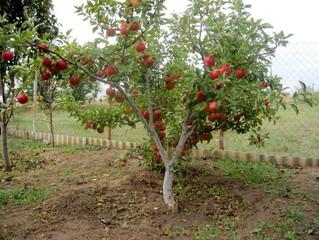 Карликовый плодовый сад. Преимущества и недостатки.