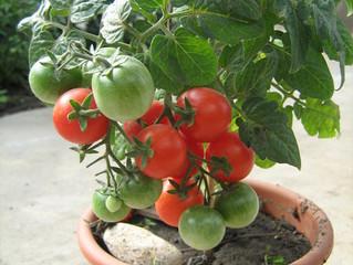 Многолетние томаты.