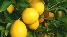 Пять популярных сортов лимонов для домашнего выращивания.