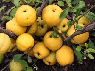 Северный лимон. Айва японская.