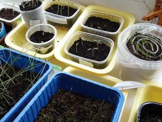 С миру по нитке...                        Народные советы дачников по посеву и замачиванию семян.