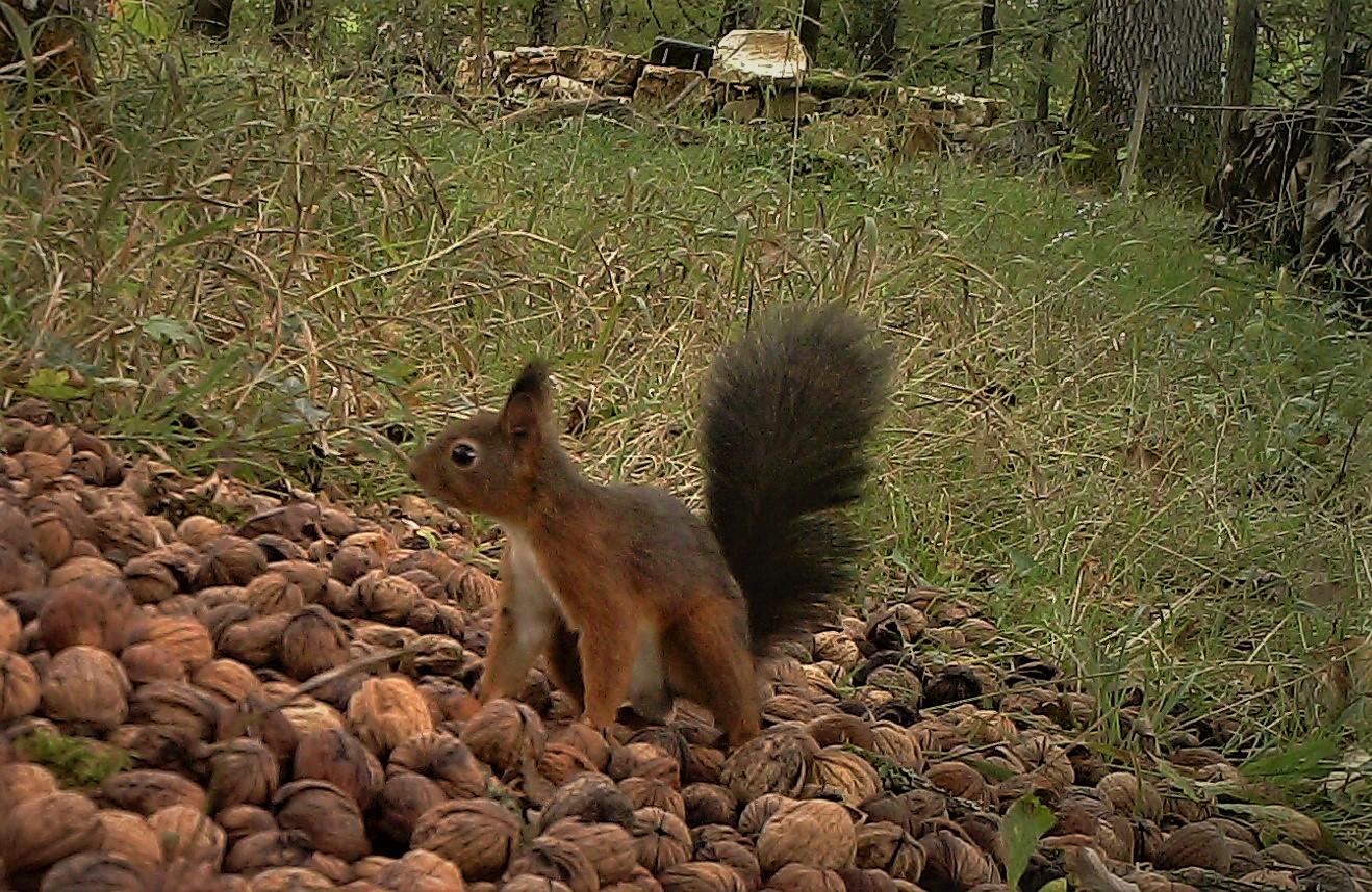 Mâle écureuil hiver 2019