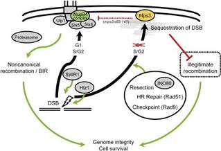 DNA損傷修復に関わる新規クロマチン機構を解明