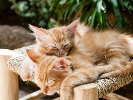 Les chats peuvent-ils vivre à plusieurs ?