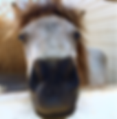 Kisses from Julio, our Na Lio Miniature Horse