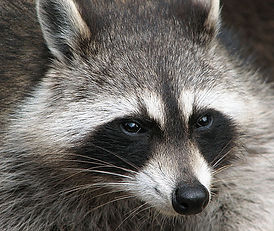 raccoon 2.jpg
