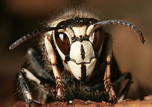 bald-faced hornet.jpg