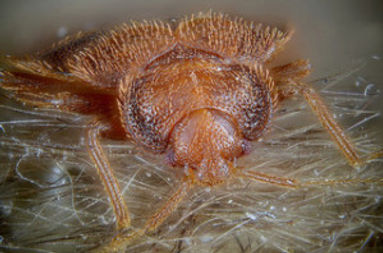 Close-up-of-bed-bug-300x198.jpg