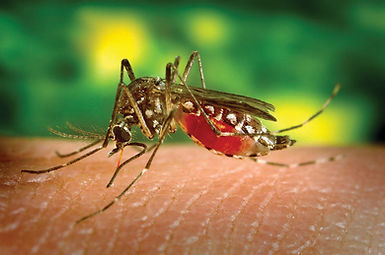 Biting-Sucking-Female-Mosquito.jpg