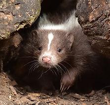 skunk crop.jpg