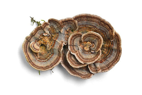 BIO PURANOV REP (Trametes versicolor)