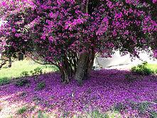 purple_bouganvillia_arrazola .jpg