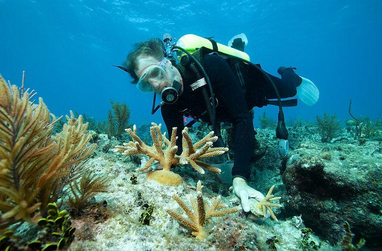 coral transplanting.jpg