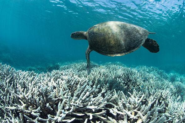Turtle over bleached reef.jpg