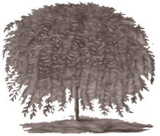 Willow Tree Image BROWN.png