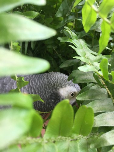 African Gray browsing in ferns