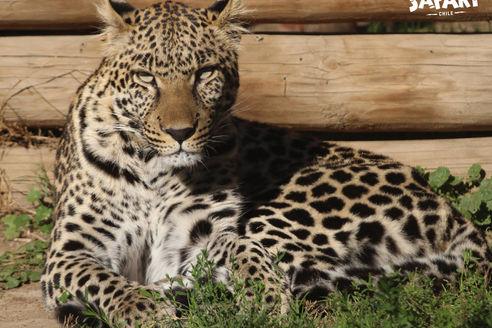 zoologico rancagua leopardo