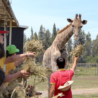 safari jirafa zoologico rancagua
