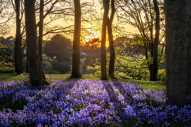 Bluebells at Sunset.